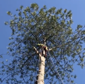 Give-and-Take-Tree-Service-Tree-Removal-1